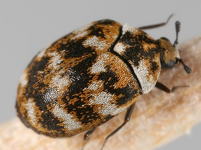 The size of carpet beetles is 1-4 mm. They have an oval shaped body and have black, white and yellow coloration. Some species of these beetles also tend to ...