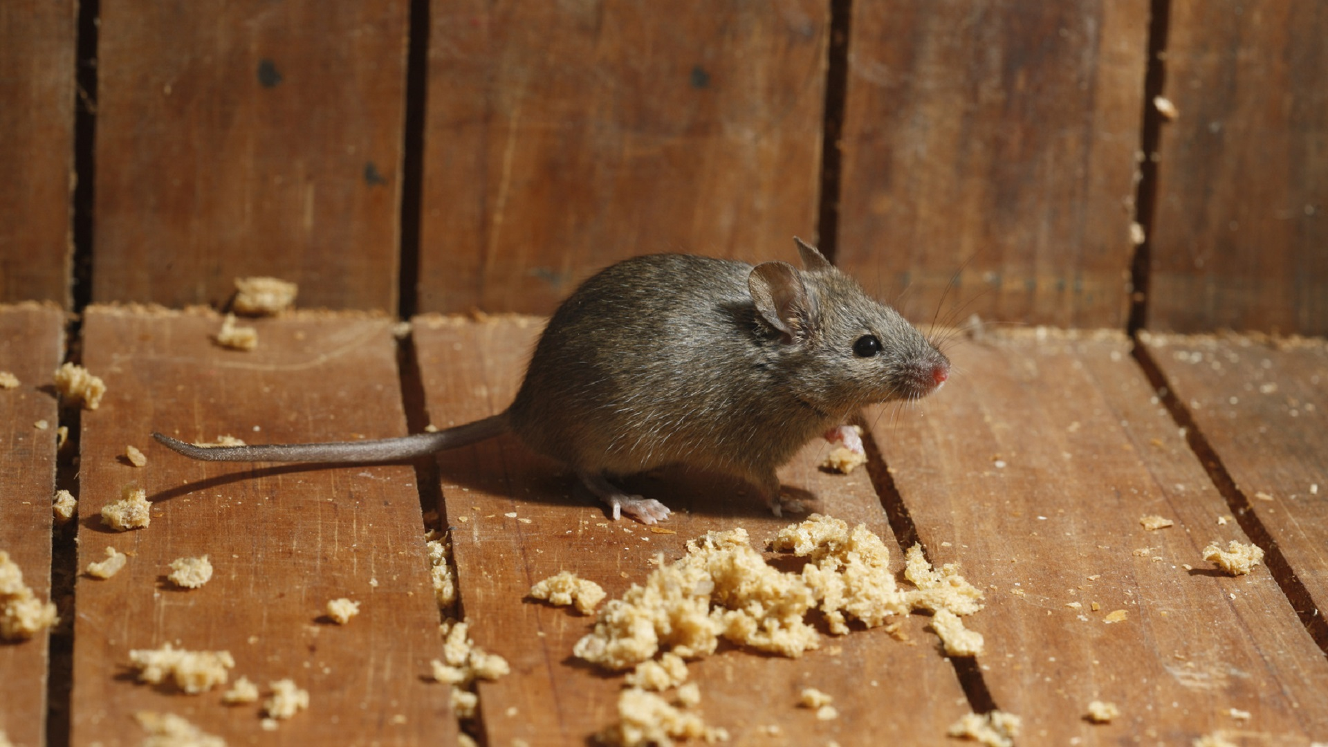 Pest Control Edmonton_House mouse